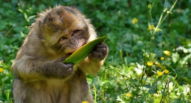 barbary-ape-3566247_1920